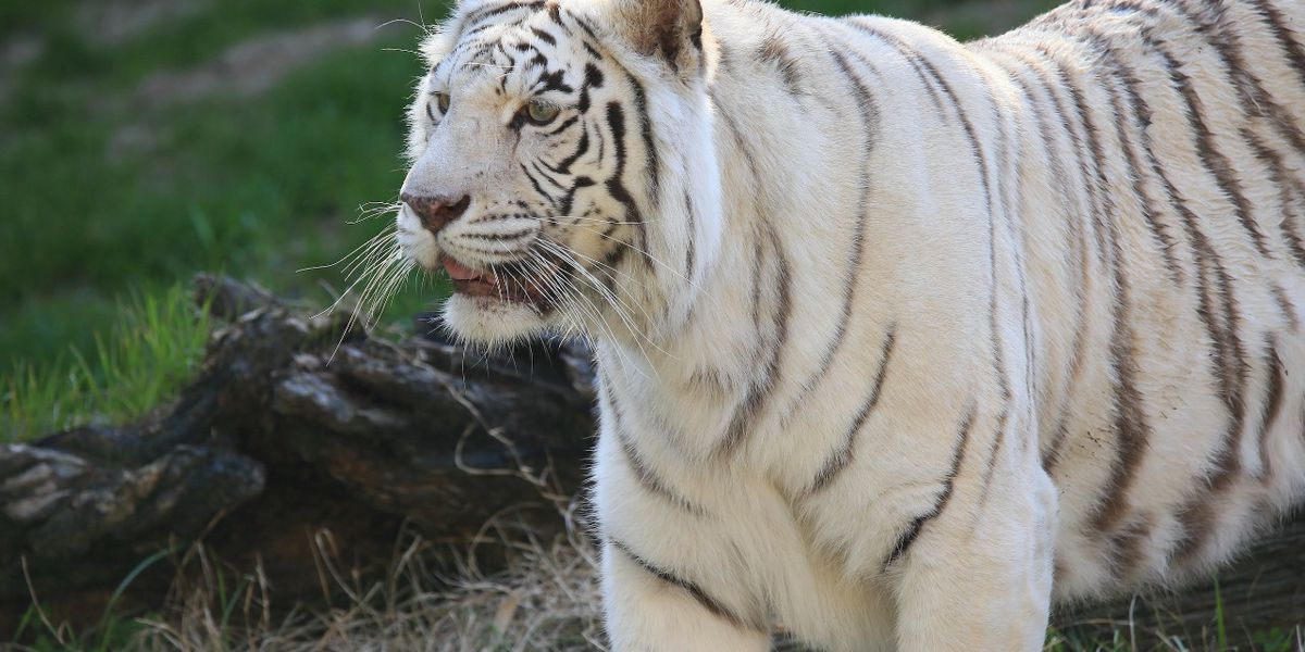 Memphis Zoo Bengal tiger, Orissa, dies after battle with cancer