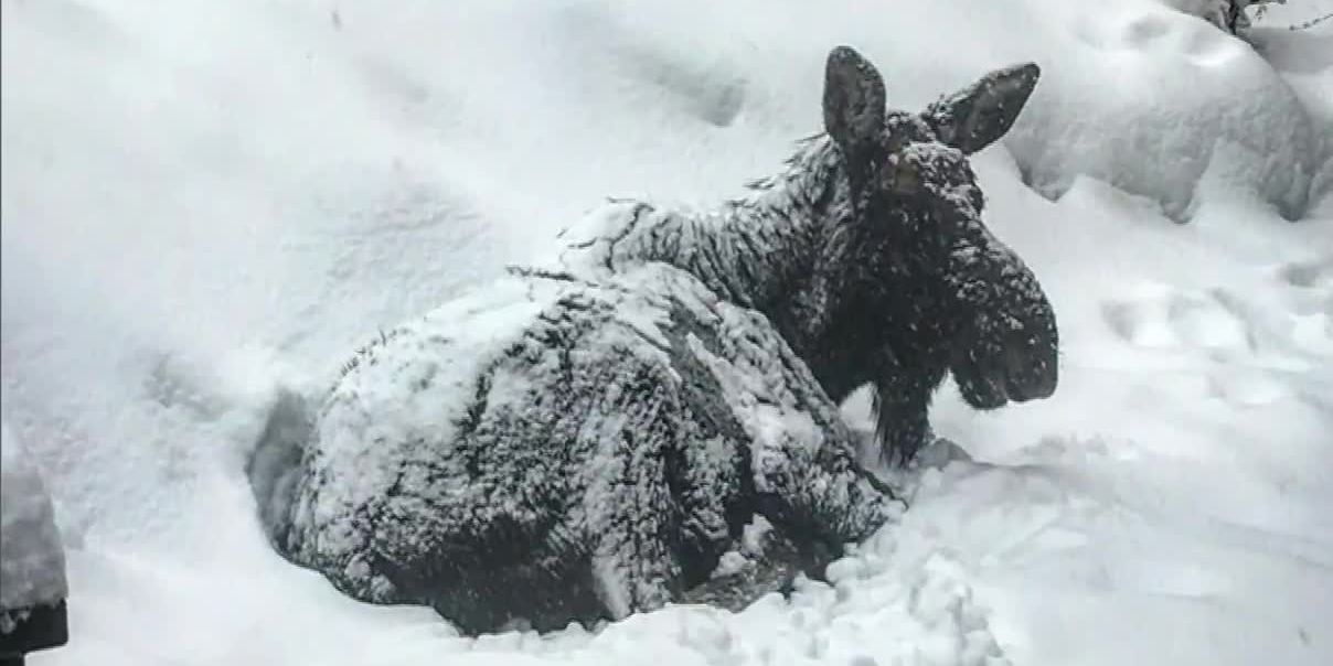 Napping moose closes library in Colorado