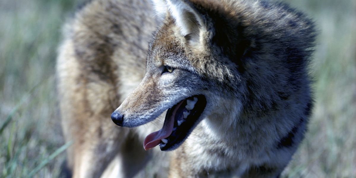 Mo. Dept. of Conservation revises regulations on coyote hunting, invasive species control