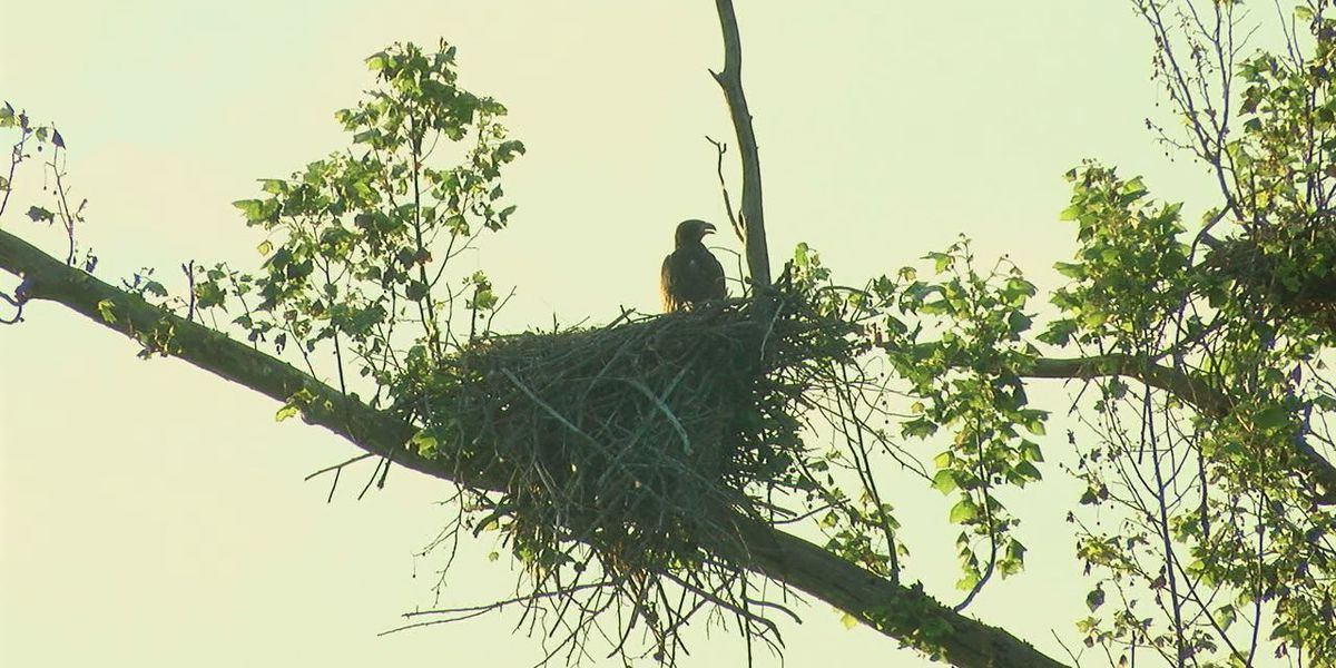 Baby bald eagle spotted in nest in Craighead County road