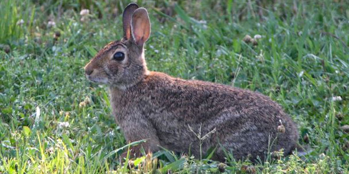 AGFC on lookout for 'highly contagious' rabbit virus