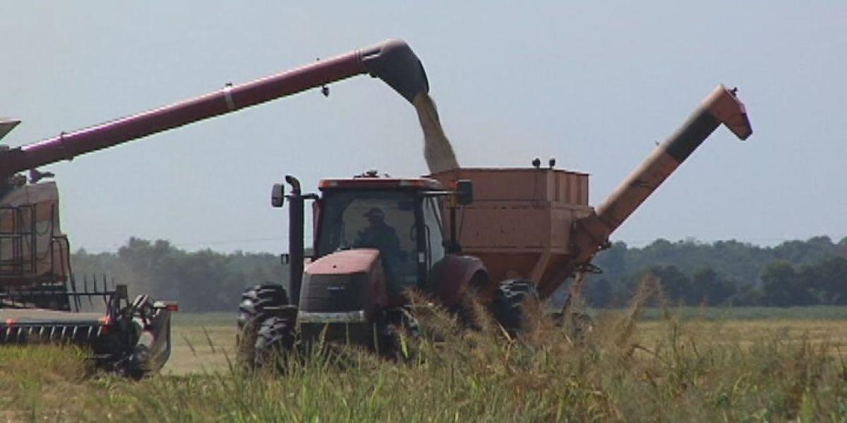 Number of rice row crops growing across Arkansas