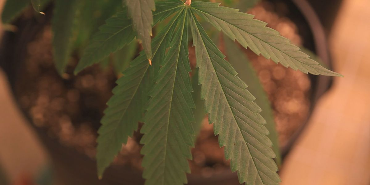 Missouri proposes ban on pot companies paying taxes in cash