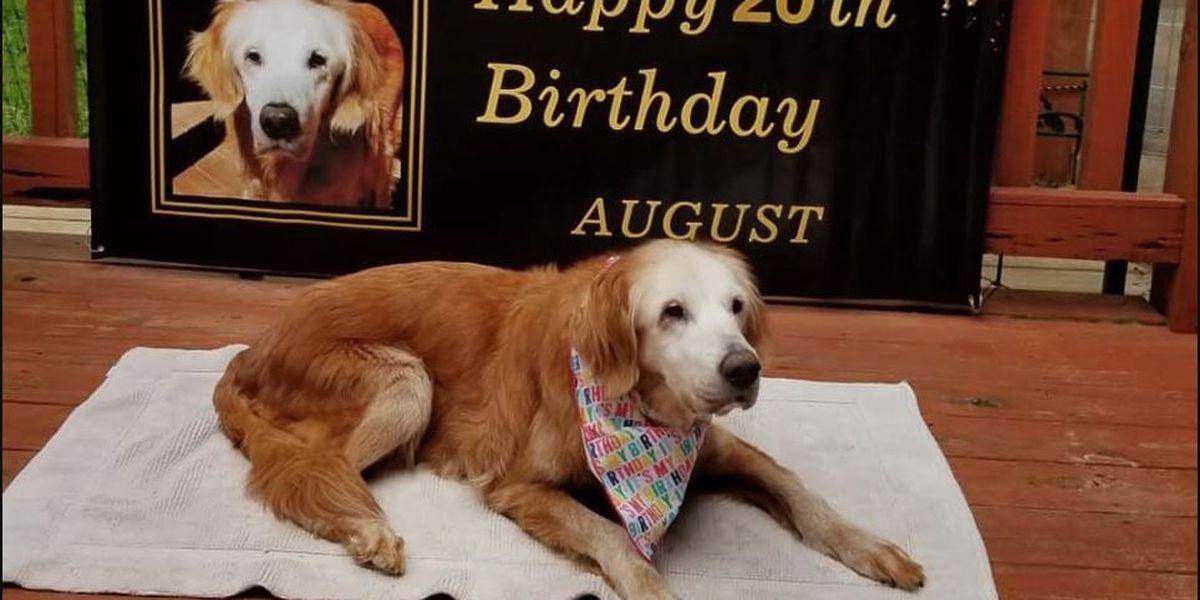 A golden birthday: Tenn. dog, 20, becomes oldest living golden retriever