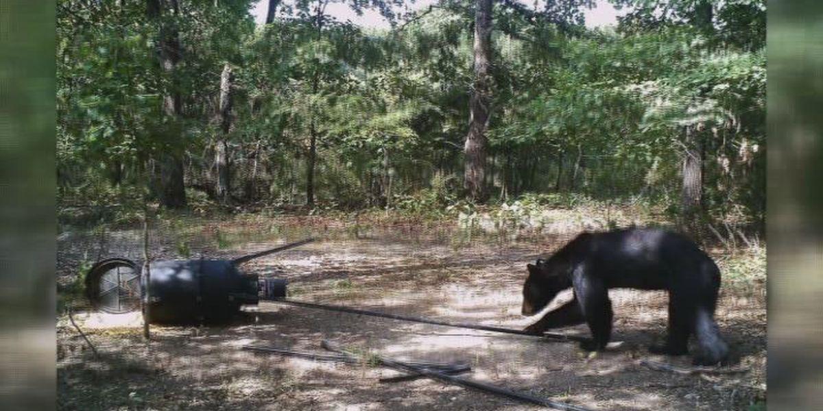 Arkansas man catches 3 bears on game camera
