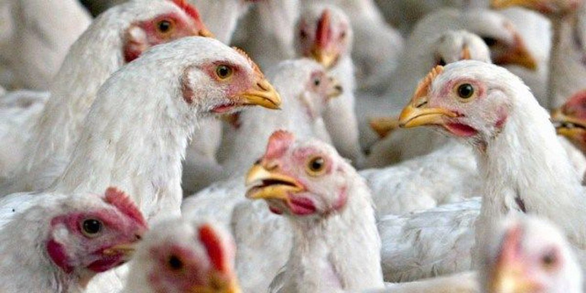 Power outage kills thousands of Arkansas prison's chickens