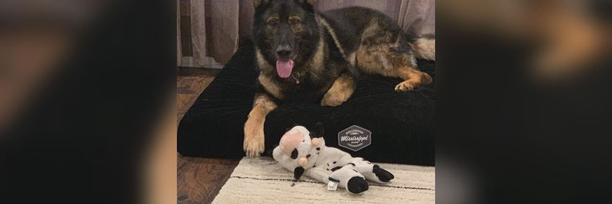 JPD K-9 Gabo continues to recover after shooting