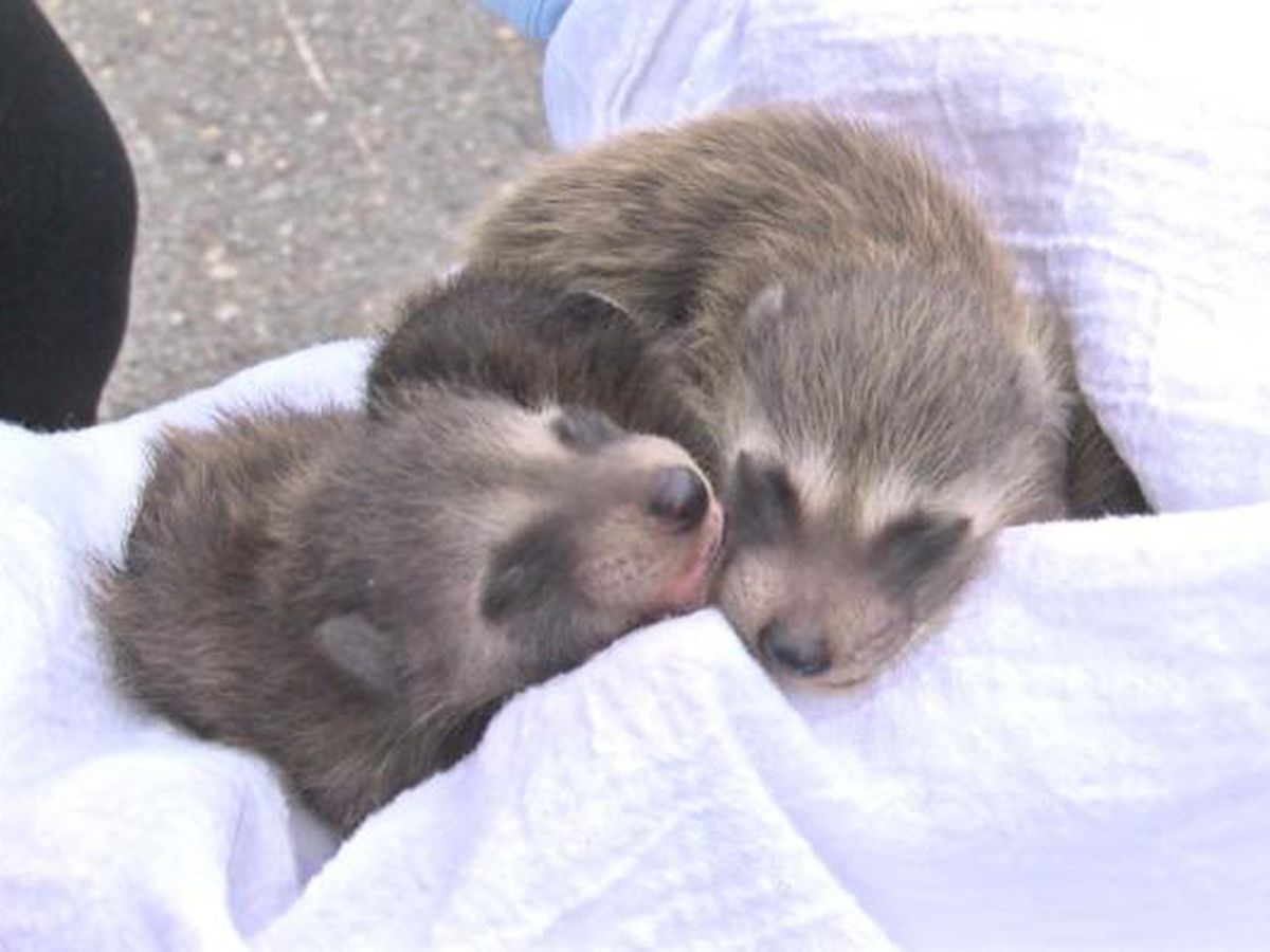 Raccoon litter found in AR dumpster
