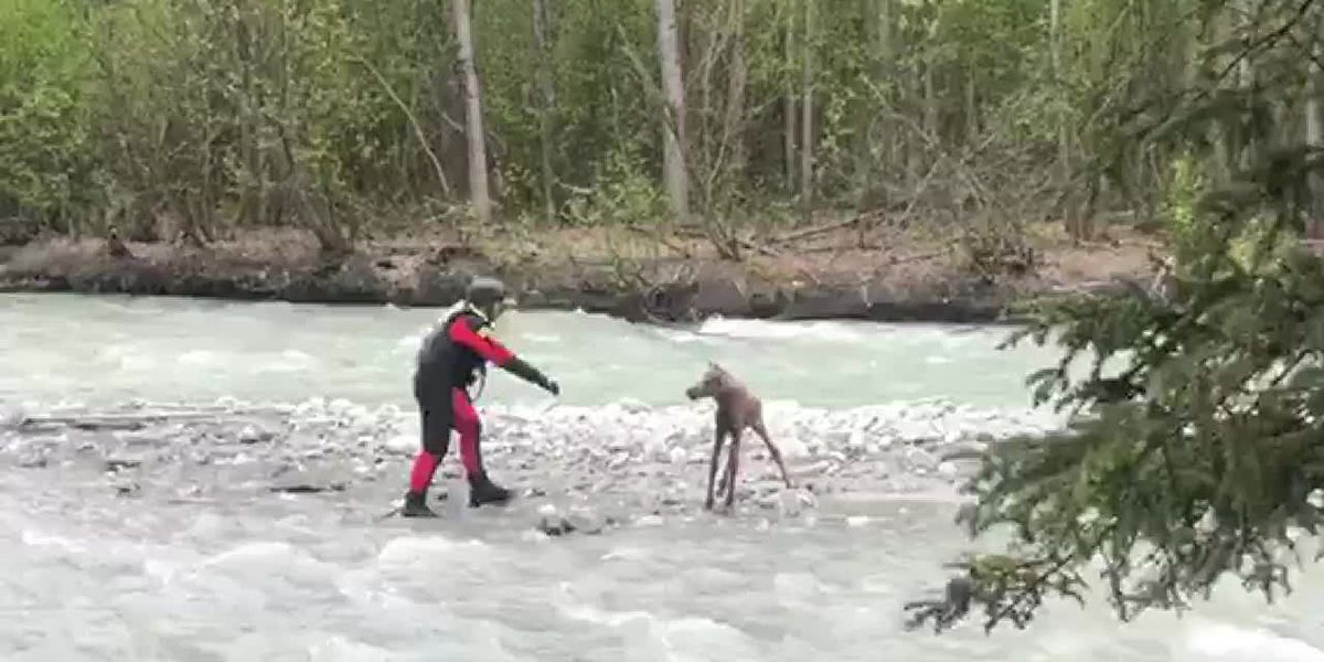 VIDEO: Moose calf rescued from middle of raging Alaska river