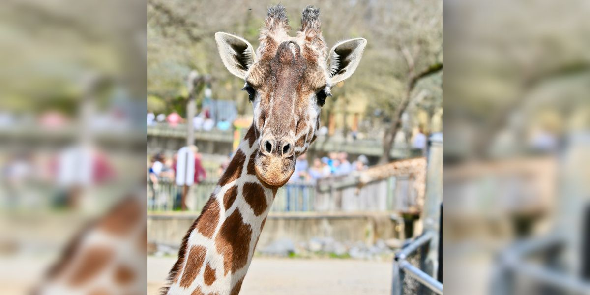 Memphis Zoo mourns death of oldest giraffe, Marilyn