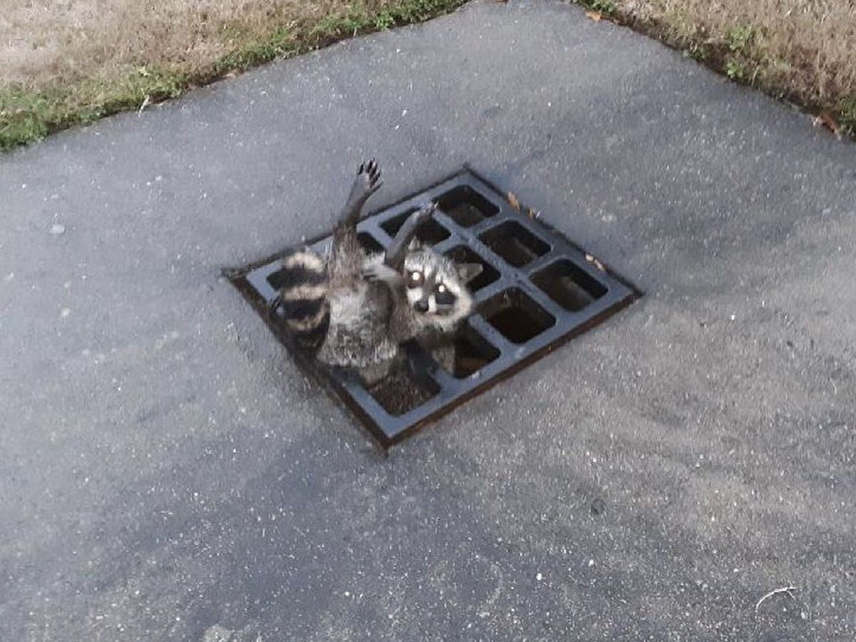 UCA police rescues raccoon from storm drain