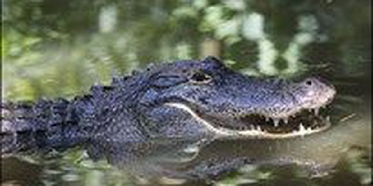 Hunters drawn for Arkansas alligator hunting season