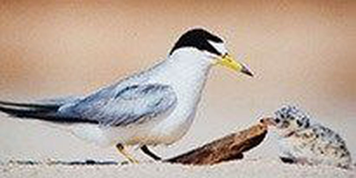 Recreationists asked to turn away from the terns