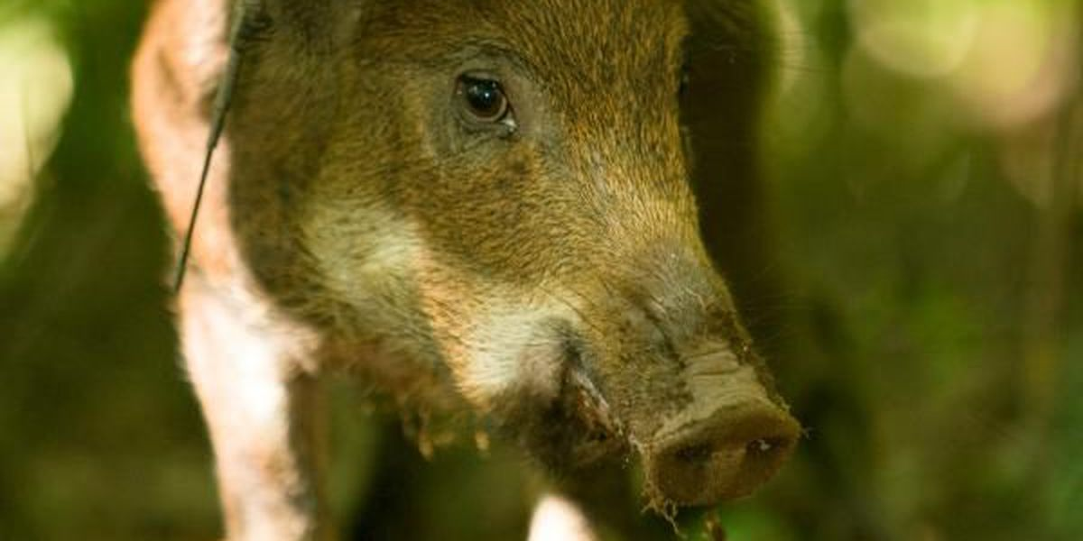 """Corps to visitors: """"Report-Don't Shoot"""" feral hogs"""
