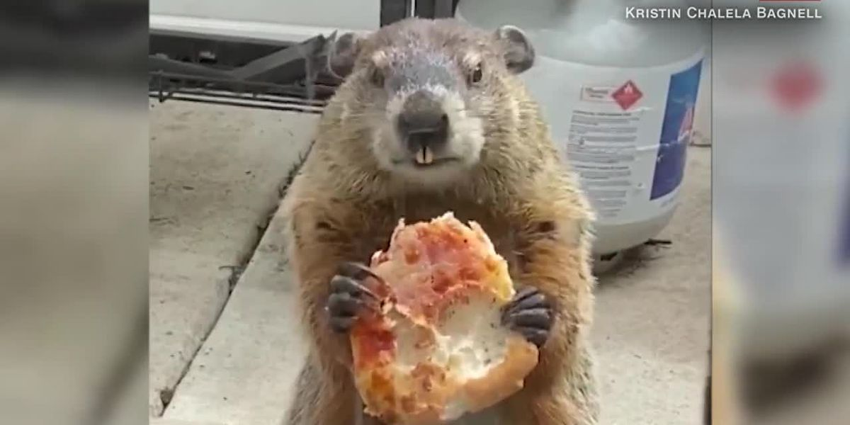 Pizza-loving groundhog enjoys a pandemic snack, eats slice in front of dogs