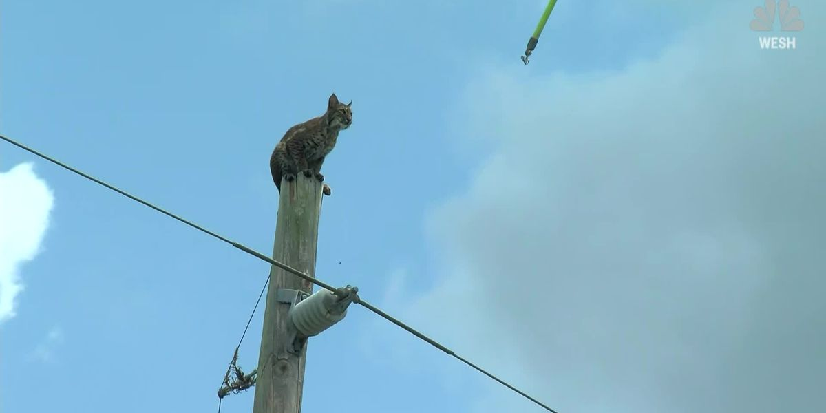 Caught on Cam: Bobcat climbs power pole