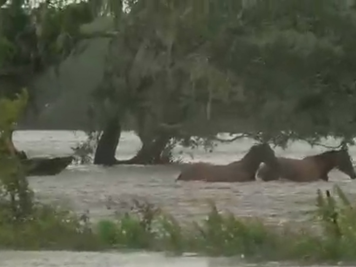 VIDEO: Residents fight to rescue livestock trapped in floodwater