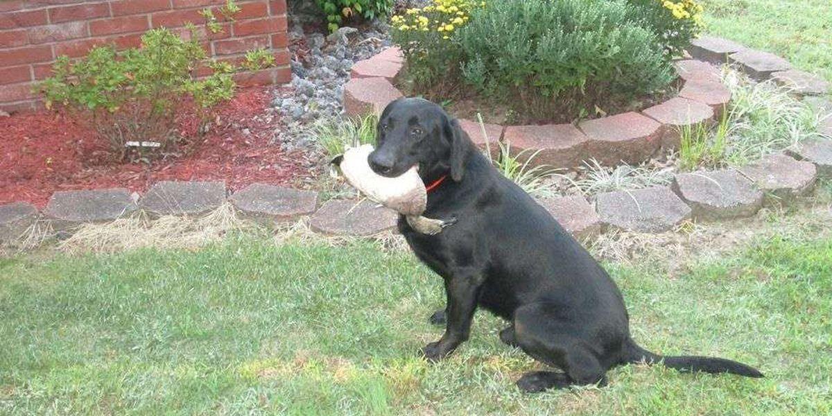 Police: Duck dog stolen in Pocahontas