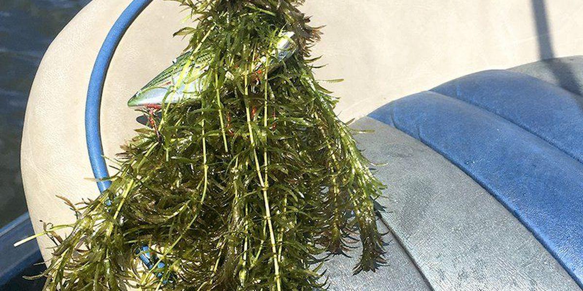 Aquatic vegetation greets Forrest Wood Cup anglers on Ouachita