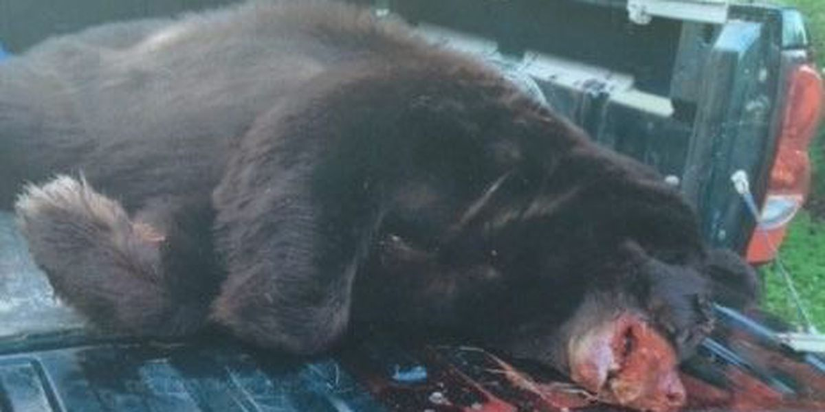 600-pound black bear collides with 18 wheeler on highway