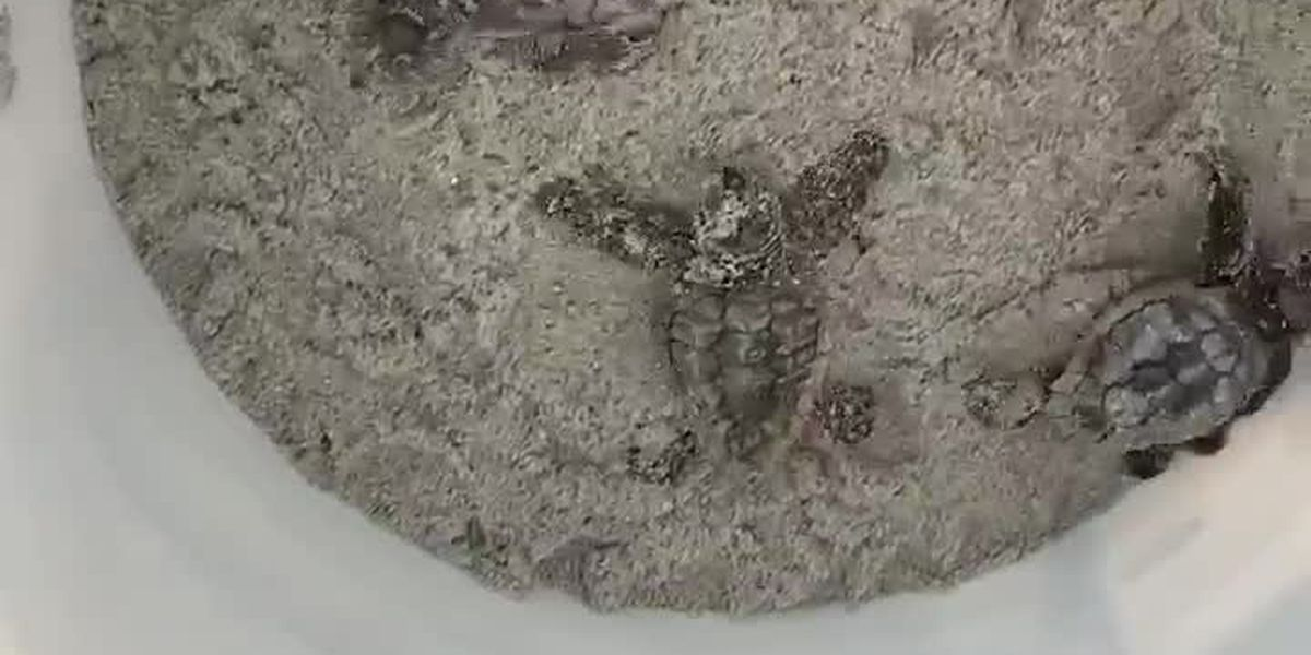 RAW: Baby sea turtles being released at Myrtle Beach State Park