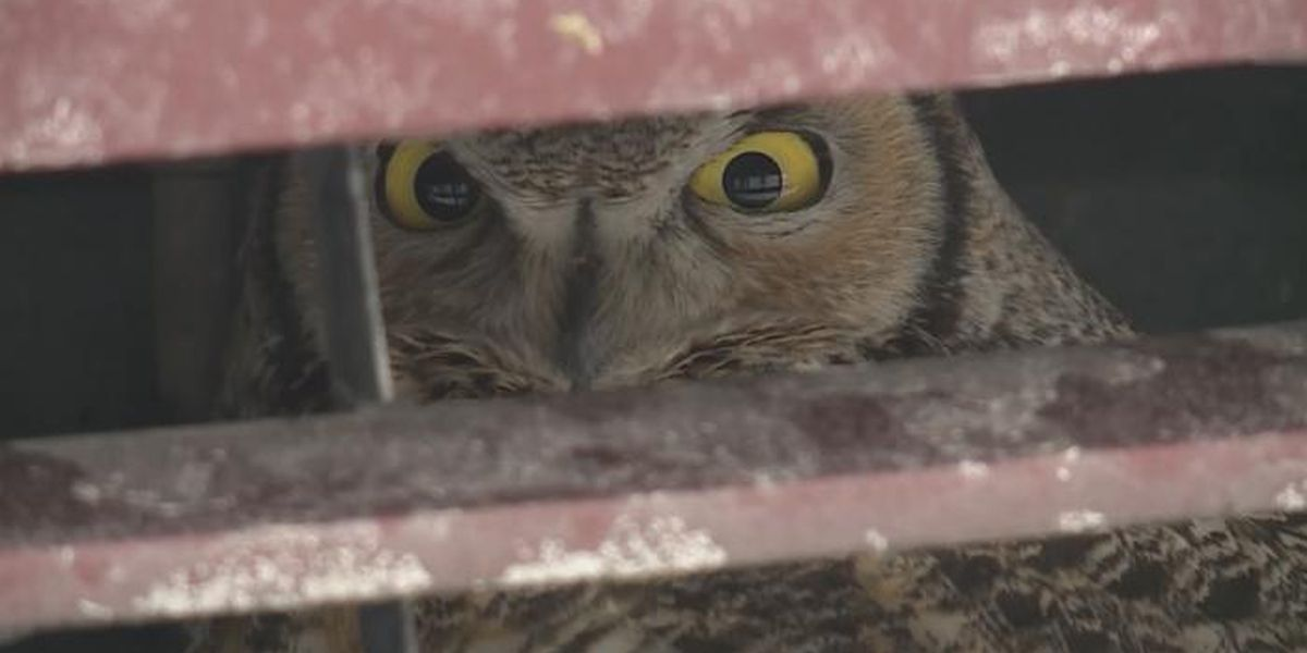 Owl takes death-defying ride after colliding with SUV