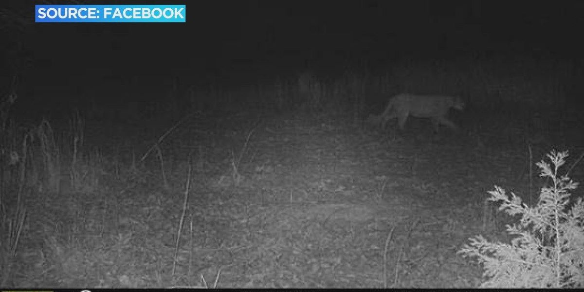 Mountain lion spotted in region