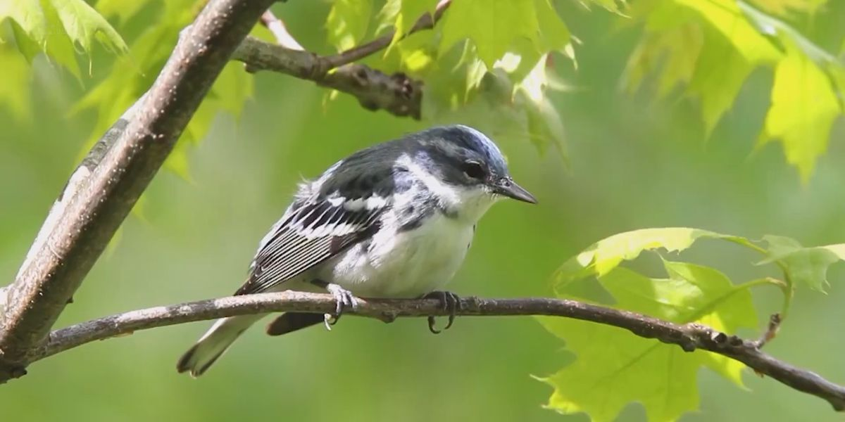 Experts say North American birds are disappearing