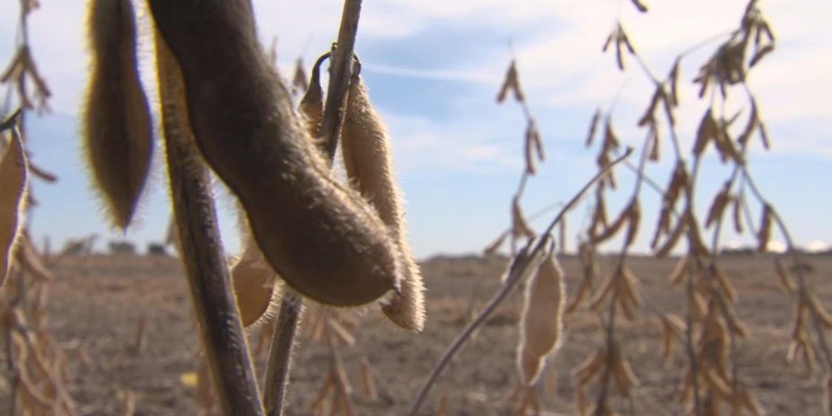 Report: Arkansas soybean farmers lose $77M after wet harvest