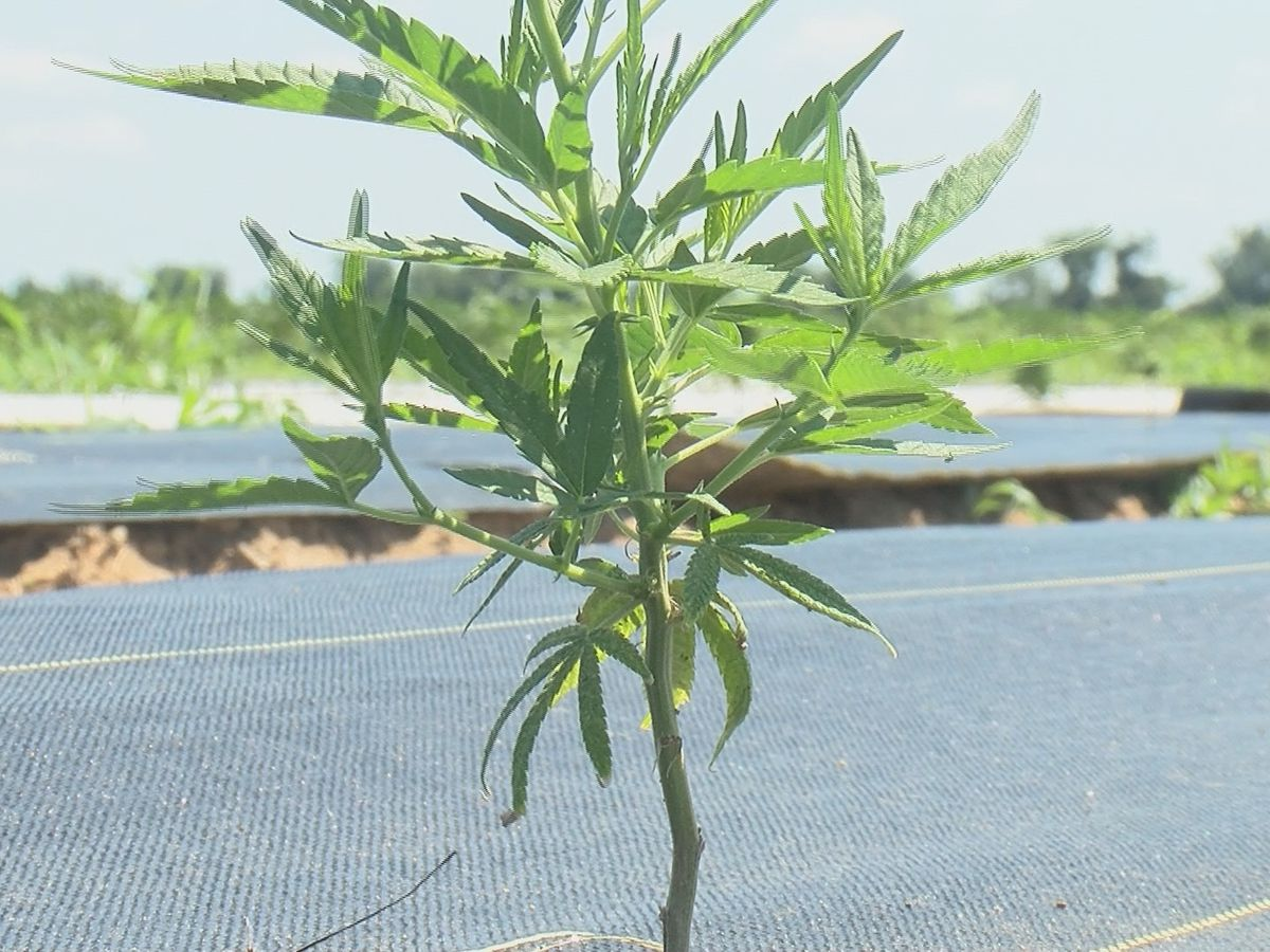Heartland farmers are excited about the opportunity to grow Hemp