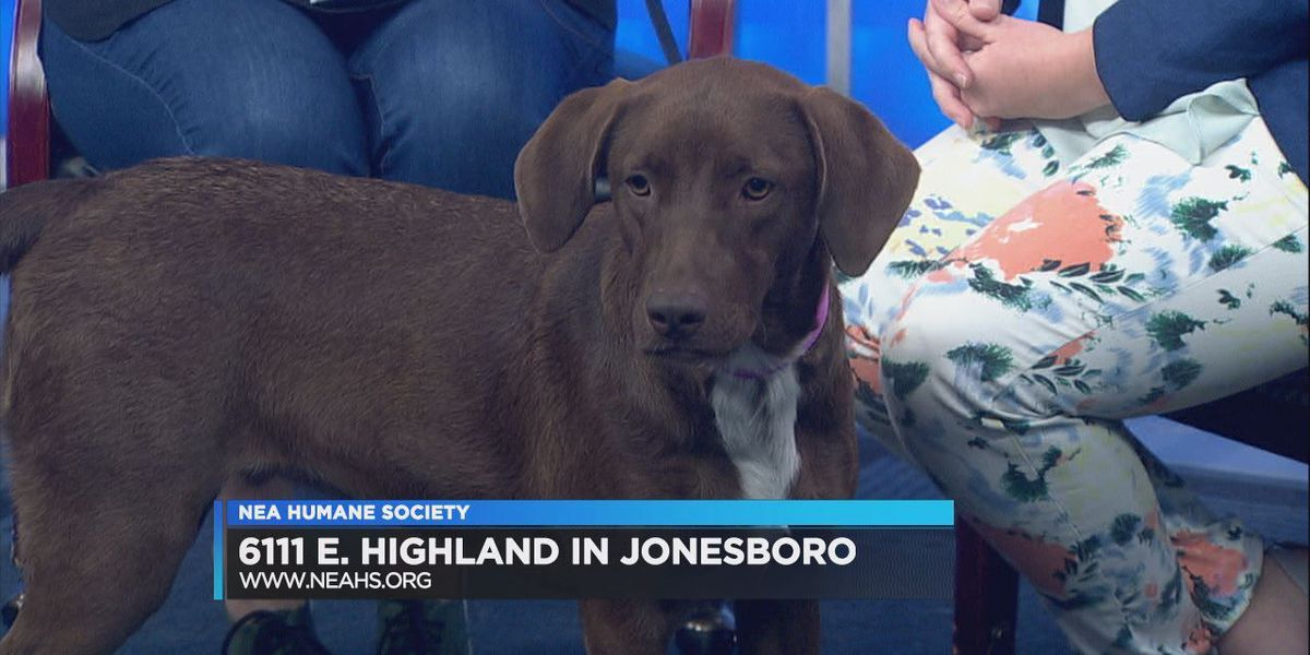 Brown lab mix up for adoption at NEAHS