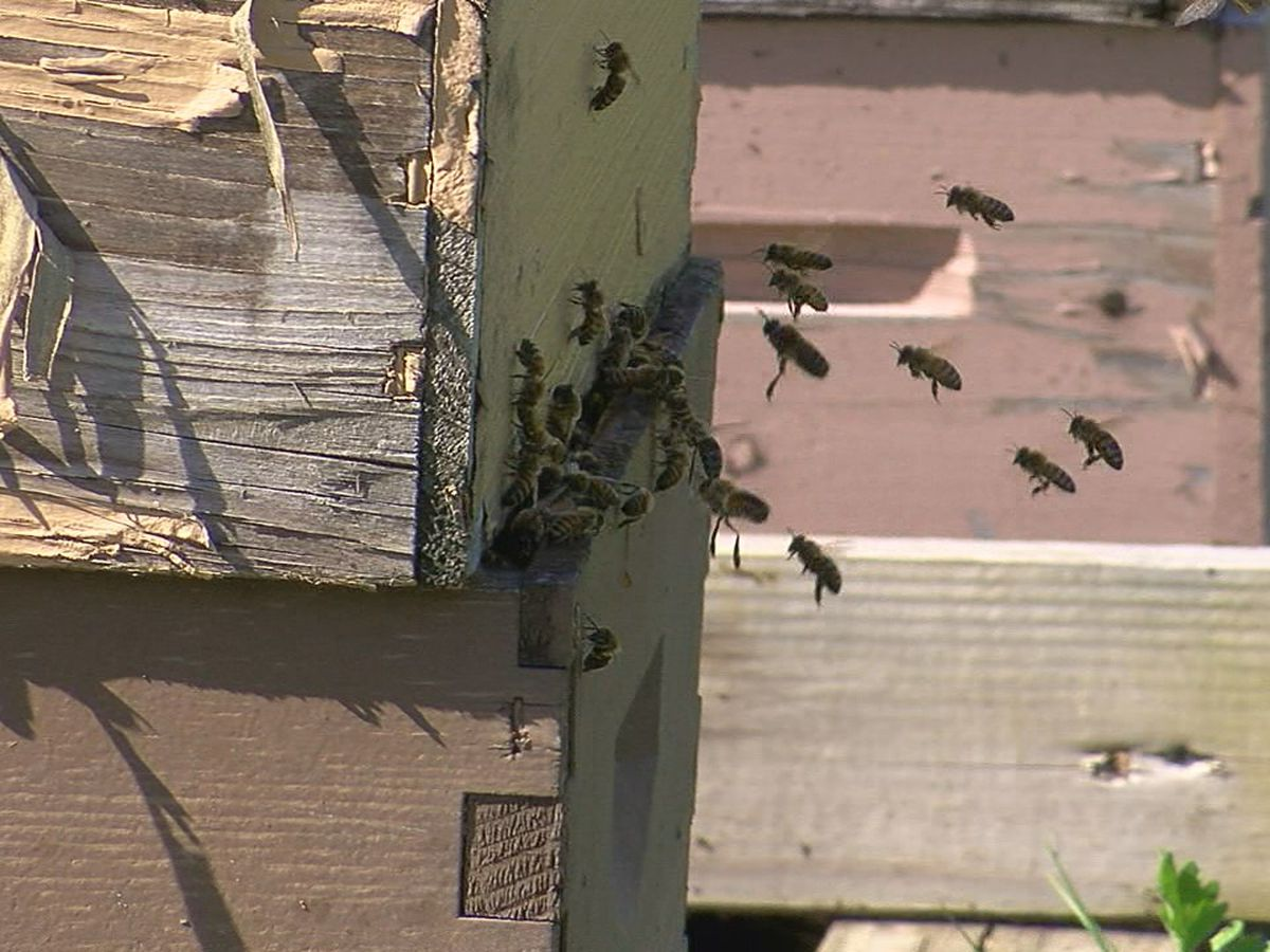Beekeepers remind of a safer way to remove bees