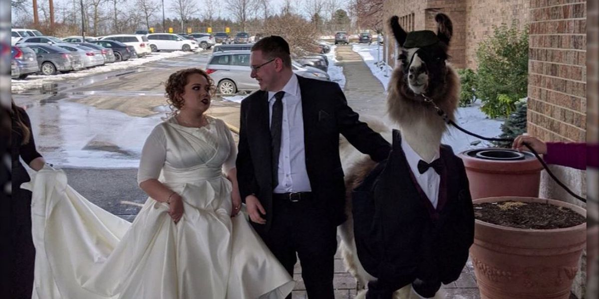 'So worth it': Younger brother brings llama to unamused sister's wedding