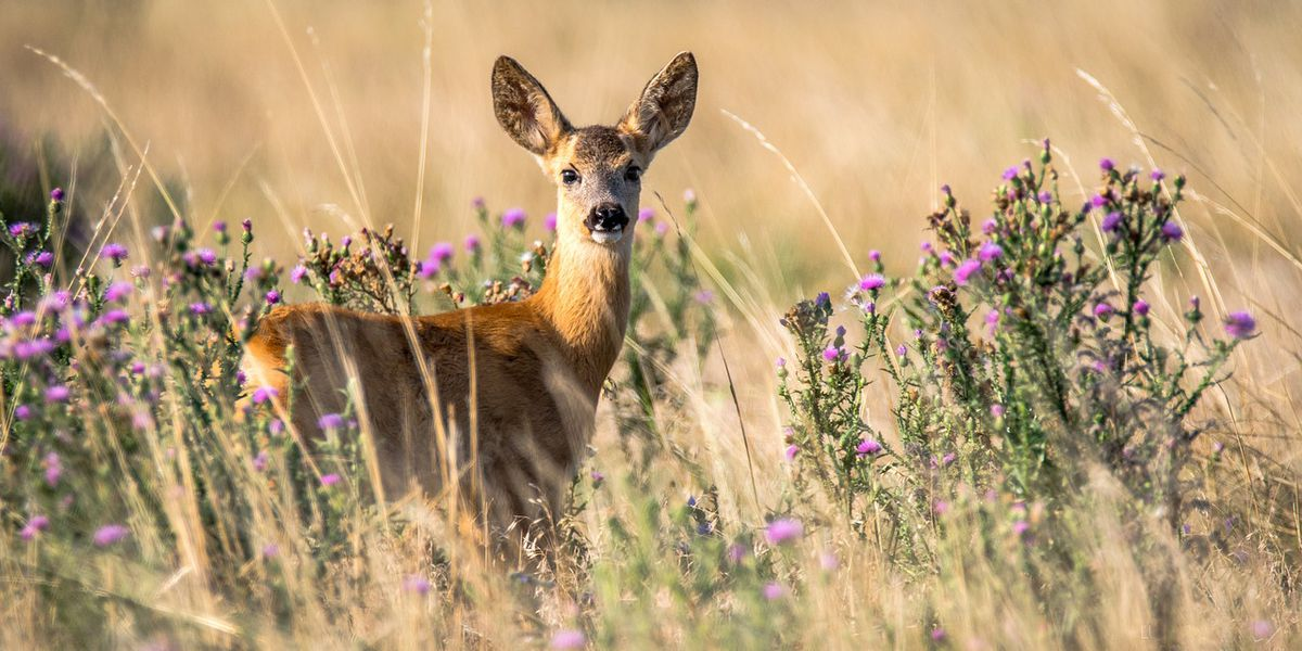 AGFC: Report road-killed deer to help monitor CWD