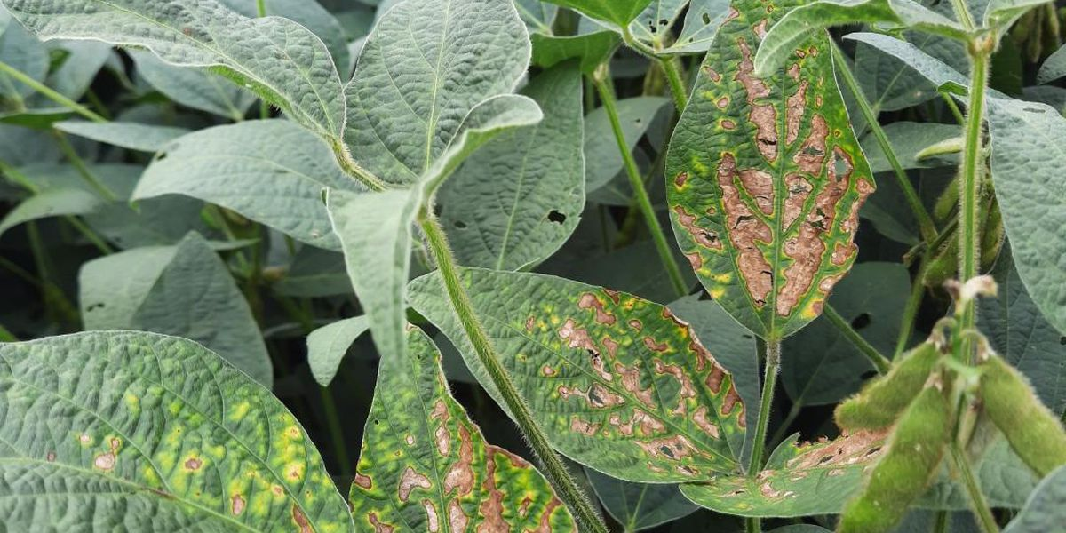 SIU doctoral student finds way to help soybean crops impacted by sudden death syndrome