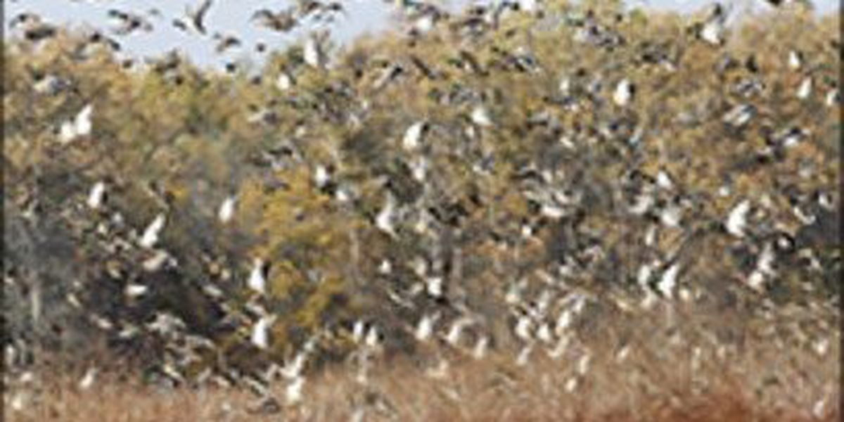 AGFC offers tips for duck hunting season