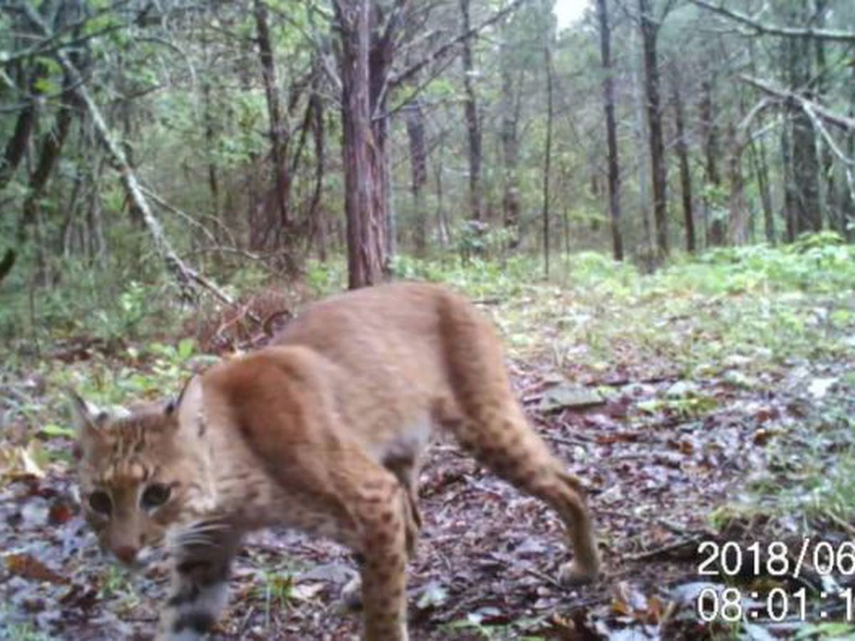 WATCH: Bobcat caught on camera near Cherokee Village