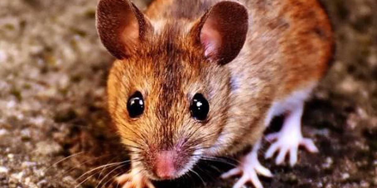 """Inspector: """"mice activity, feces"""" found at restaurant"""