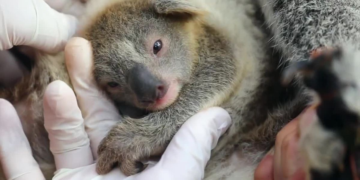Australian zoo welcomes first koala joey since thousands died during bushfires, names it Ash
