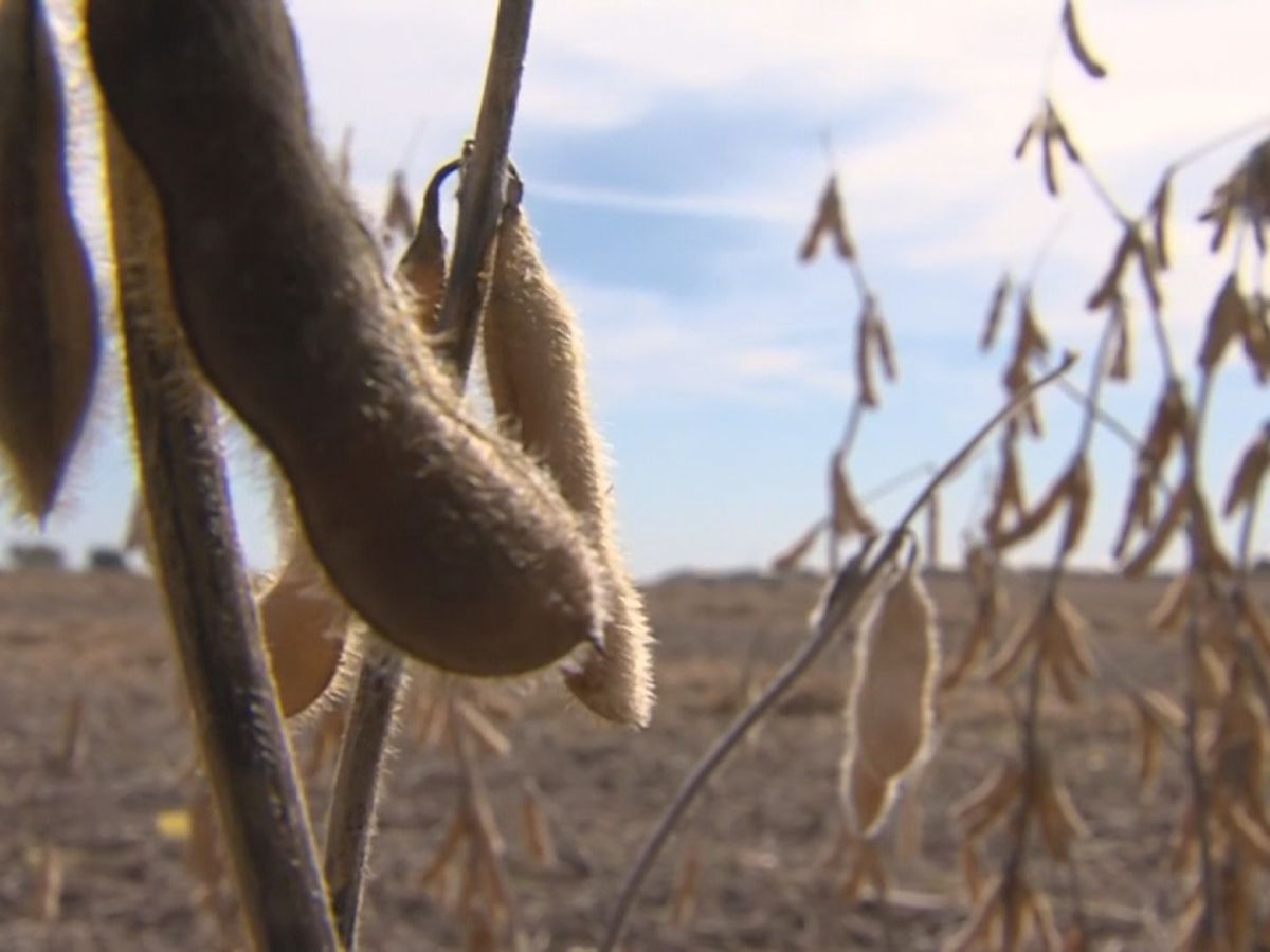 Improved weather conditions have soybean farmers optimistic