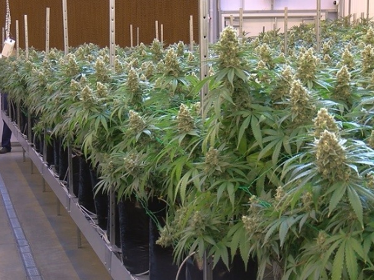 Third medical marijuana cultivator approved to start growing