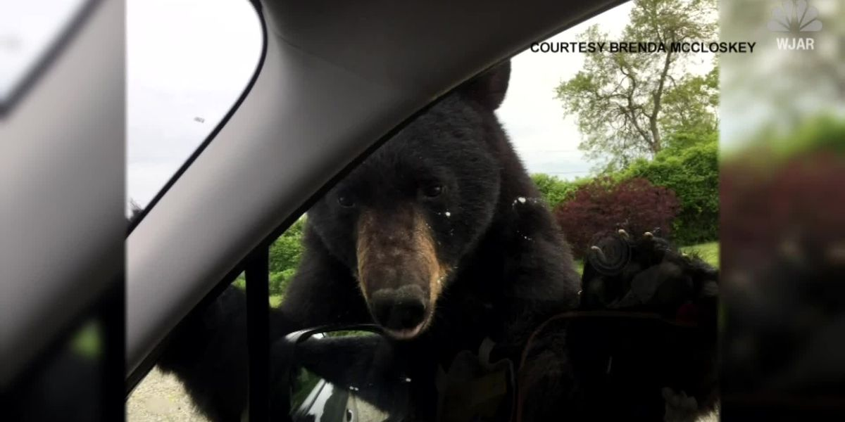 Bear goes after woman's lunch in car seat