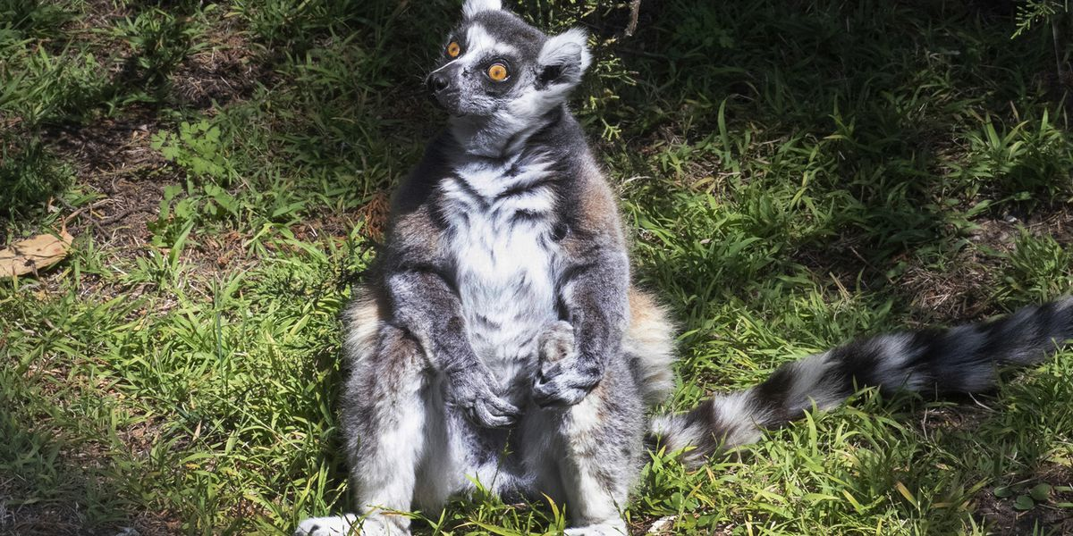 'There's a lemur!' 5-year-old helps crack SF Zoo theft case