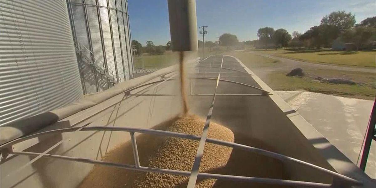 Tariffs, bad weather hitting soybean farmers hard