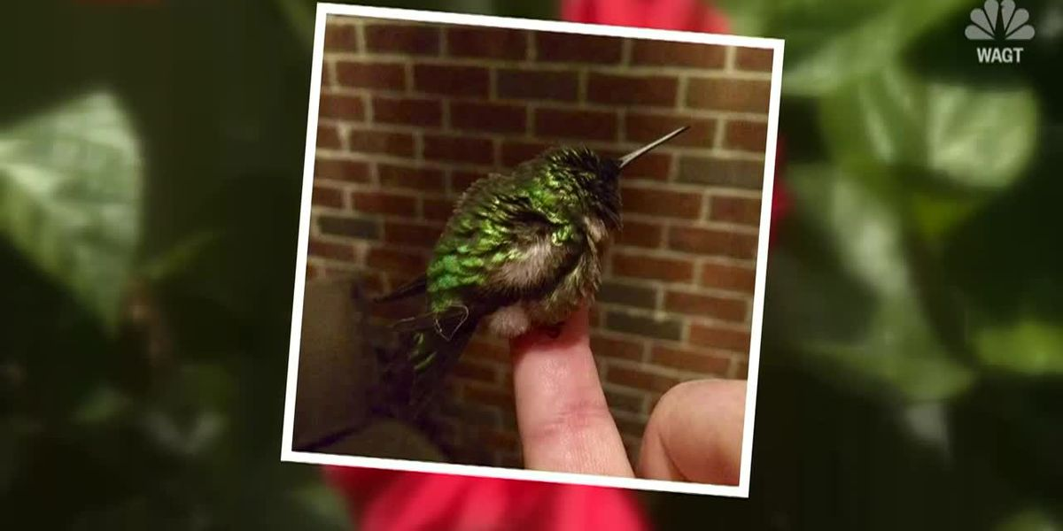 Rescued hummingbird returns again this spring