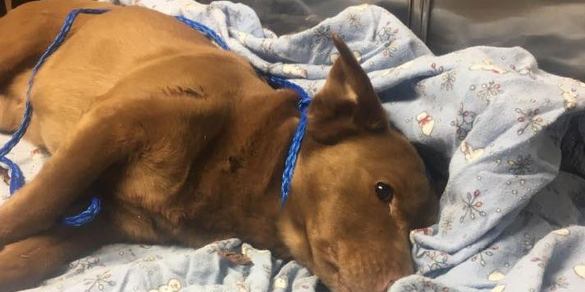 GRAPHIC: Dog shot, fatally wounded; shooter sought