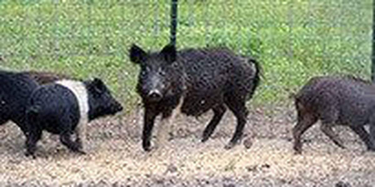AGFC to allow harvest of feral hogs