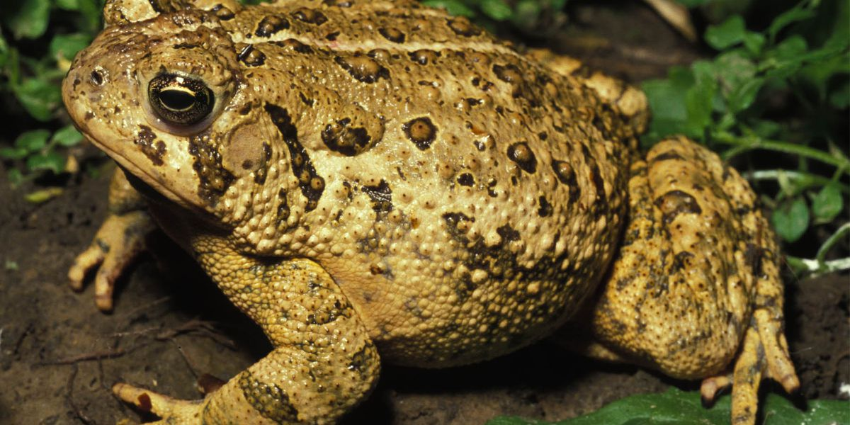 Influx of frogs, toads after historic flooding in southeast Mo.