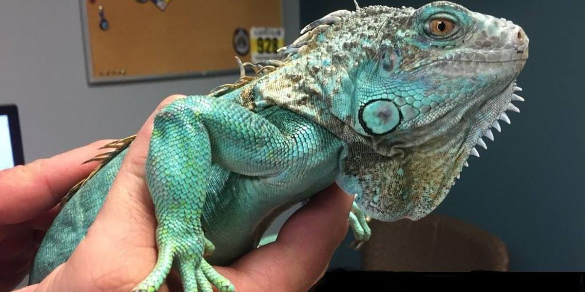 Disorderly man uses iguana as weapon, throws pet at manager inside Painesville Perkins restaurant