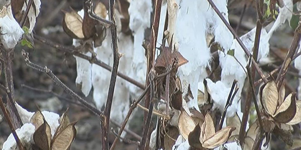 Cotton farmers recovering from recent severe weather look to Monday's storms
